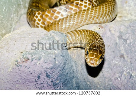 Close up of Indo-Chinese Rat snake, Thailand.