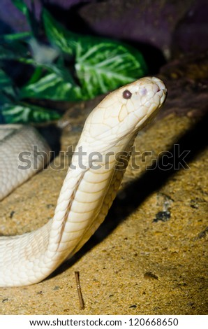 Close up of Indochinese or Monocellate Cobra snake, Thailand.
