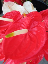Close up of intense red flower of Anthurium or flower of love. Deep red background of heart shaped tropical indoor plant flower. Tropical Anthurium Plant Red Flowers. Gardening pattern.