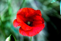 close up of intense red poppy in summer shade