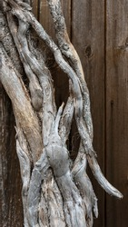 Close-up of intertwine exposed wood roots, wood texture. Old ancient twisted roots of tree on wooden background. Concept of outdoor virgin nature, complexity and wisdom