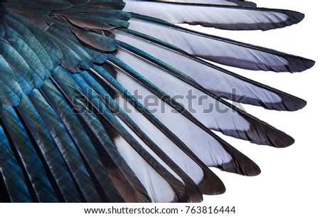 Shutterstock Close-up of iridescent feathers of wing of european magpie isolated on white background. Bird feather texture. Beautiful multicolor feathers of european magpie as a background.