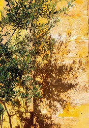 Close up of isolated twigs of olive tree in bright sunshine throwing shadows on yellow terracotta colored brick stone wall - Provence, France (focus on center of twig)