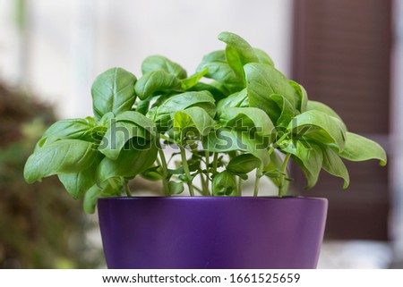 Close up of italian basil large leaf plant (Ocimum basilicum) outside in a brilliant purple flowerpot Zdjęcia stock ©