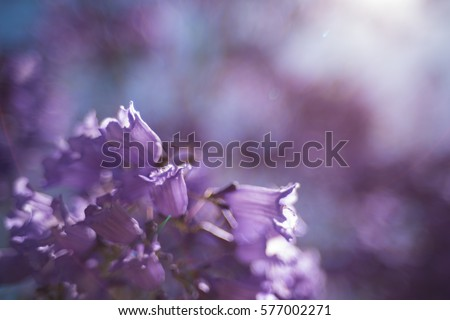Close up of Jacaranda tree flowers. Soft focus, soothing floral background