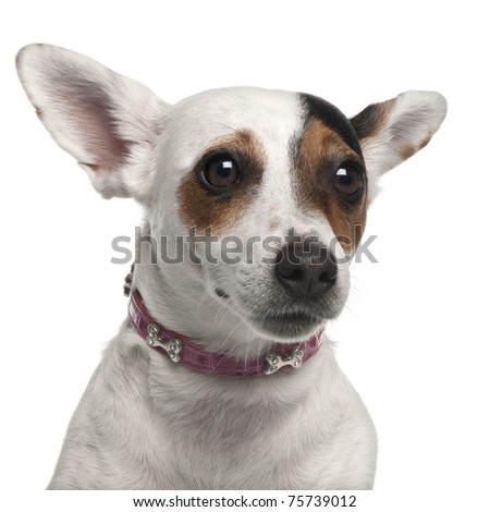 Close-up of Jack Russell Terrier, 2 years old, in front of white background