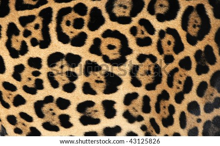 close up of jaguar or pantera onca showing flower pattern markings ,costa rica, central america. exotic big pussy cat hair fur hide similar leopard in tropical country near panama - stock photo
