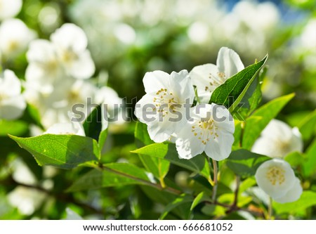 close up of jasmine flowers in a garden