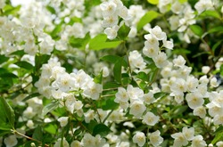 close up of jasmine flowers in a garden, branch with white flowers