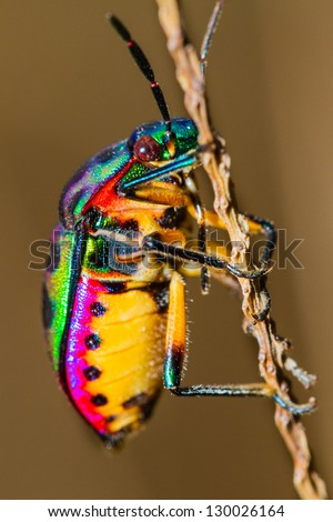 Close up of Jewel Bug in the nature #130026164
