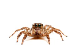Close up of jump spider on white background..