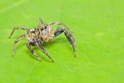 close up of jumper spider on green leaf