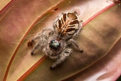 Close-up of Jumping Spider , Jumping Spider of Borneo , Jumping Spider , Beautiful Jumping Spider