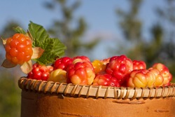Close-up of just picked cloudberries (Rubus chamaemorus). Harvest of cloudberry.