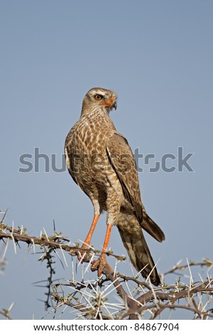 Close-up of Juvenile Southern Pale Chanting Goshawk perched on thorn twig; Melierax canorus