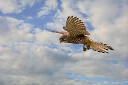 Close up of Kestrel - bird of prey - hovering in the sky, hunting for prey