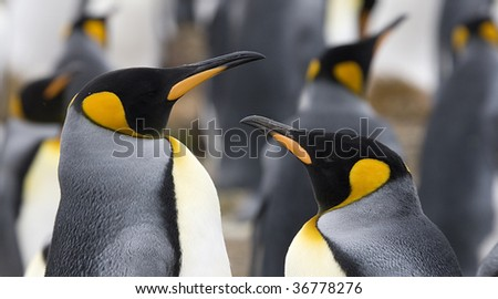 Close-up of king penguin (Aptenodytes patagonicus) couple at Volunteer Point, Falkland Islands