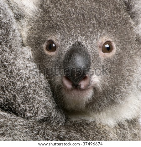 Close-up of Koala bear, Phascolarctos cinereus, 9 months old