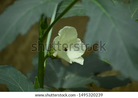 Close up of ladies finger and ladies finger flower.