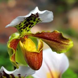 Close up of lady's slipper orchid (Paphiopedilum Callosum).