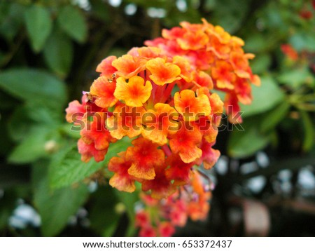 Shutterstock Close up of Lantana flower ( big-sage, wild-sage, red-sage, white-sage or Lantana camara L.) Beautiful small flower and green leaves.