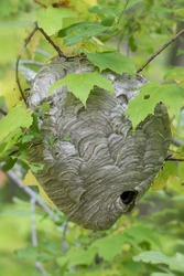 Close up of large paper wasp nest in forest