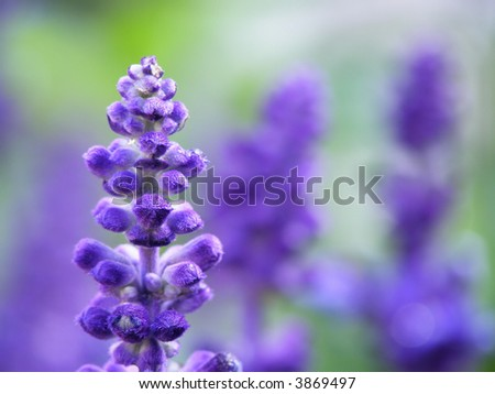 Close-up of lavender flower on a summer day in the garden