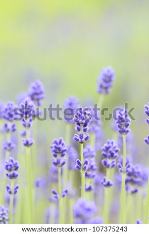 Close up of lavender flowers in summer