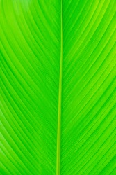 Close up of leaf texture background, Details of green leaf, Abstract green line background.