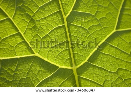 Dicot Leaf Vein Pattern at Askives