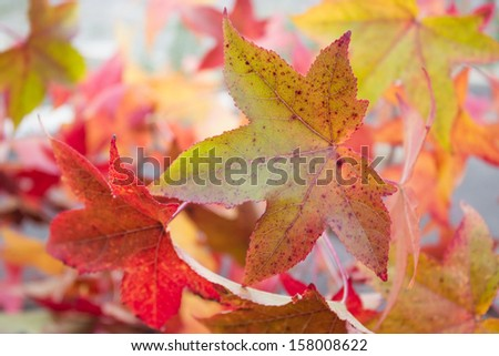 close-up of leaves liquidambar with autumn changing colors