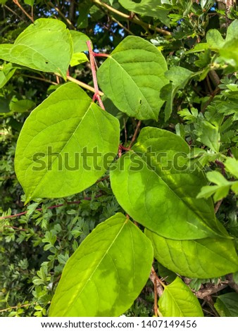 Close up of leaves of the fast-growing, invasive, plant Japanese Knotweed or 'Polygonum cuspidatum' or Fallopia japonica'