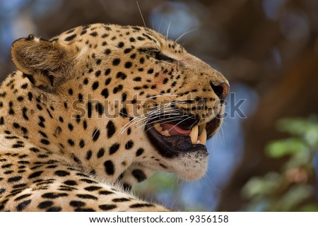 Close-up of Leopard resting in tree; Panthera pardus; South Africa