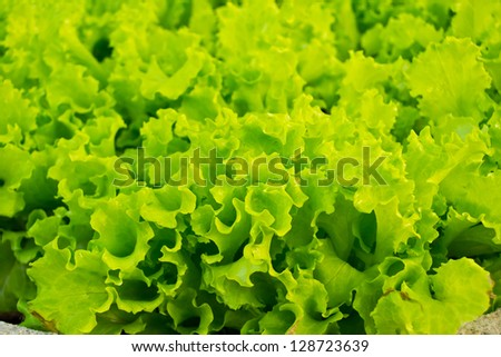 Close-up of lettuce leaves