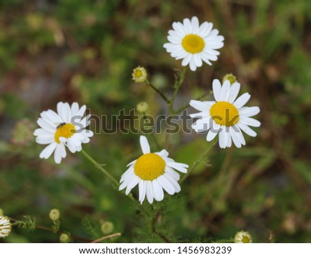 close up of Leucanthemum vulgare, commonly known as the ox-eye daisy, oxeye daisy, dog daisy #1456983239