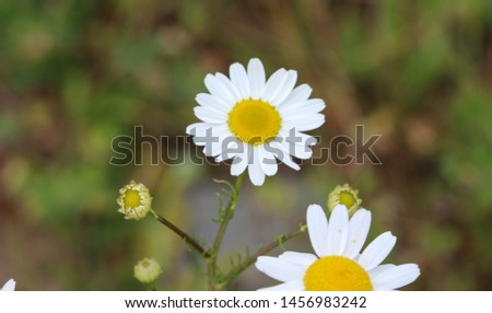 close up of Leucanthemum vulgare, commonly known as the ox-eye daisy, oxeye daisy, dog daisy #1456983242