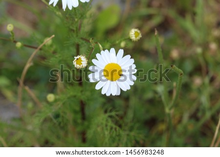 close up of Leucanthemum vulgare, commonly known as the ox-eye daisy, oxeye daisy, dog daisy #1456983248