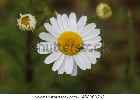 close up of Leucanthemum vulgare, commonly known as the ox-eye daisy, oxeye daisy, dog daisy #1456983263