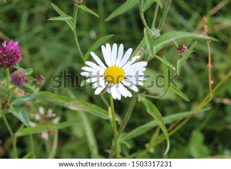 close up of Leucanthemum vulgare, commonly known as the ox-eye daisy, oxeye daisy, dog daisy #1503317231