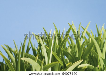 close up of light green grass against blue sky
