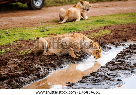 Close-up of lioness drinking water; Panthera Leo ,near the safari car