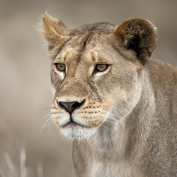 Close-up of Lioness in Serengeti, Tanzania, Africa