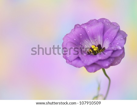 Close-up of  lisianthus flower on  colorful watercolor background