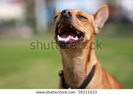 Close up of little foxy dog with open mouth