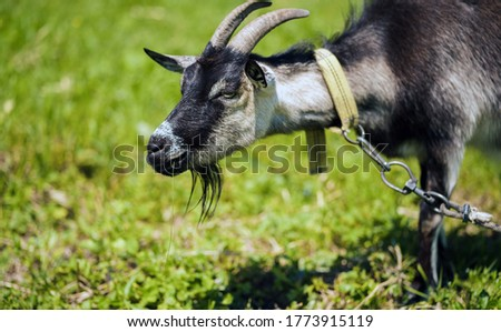Close up of little goat grazing in green meadow.