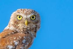 Close up of little owl eyes ( Athene noctua )