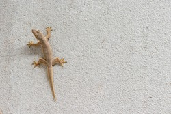 Close up of Lizard on a concrete wall, reptile on cement background