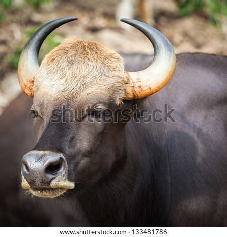 Close up of long horn wild bull