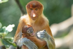 Close-up of long nose monkey, Female Proboscis Monkey or called Nasalis larvatus with her baby in hug during the feeding time