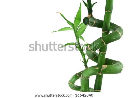 close-up of lucky bamboo on white background